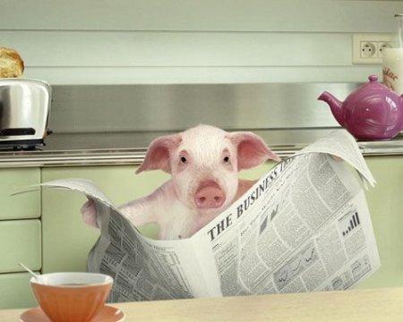cochon-journal1